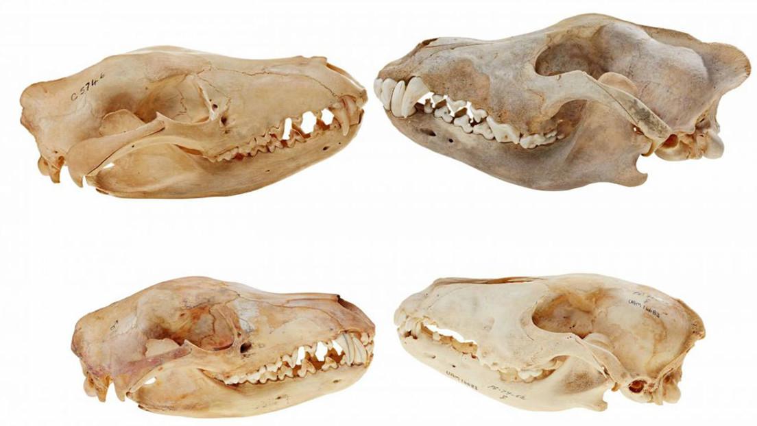 El cráneo del tigre de Tasmania era más parecido al de un lobo que al de un marsupial