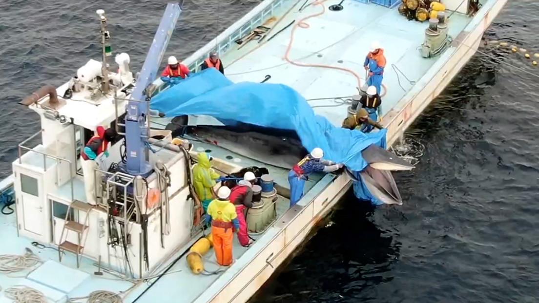 Pescadores japoneses matan a una ballena a la que tuvieron 20 minutos bajo el agua hasta que se ahogó