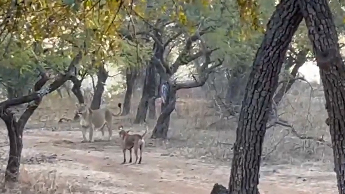 VIDEO: Un perro sorprende a unos turistas en la India tras enfrentarse a una leona y salir victorioso