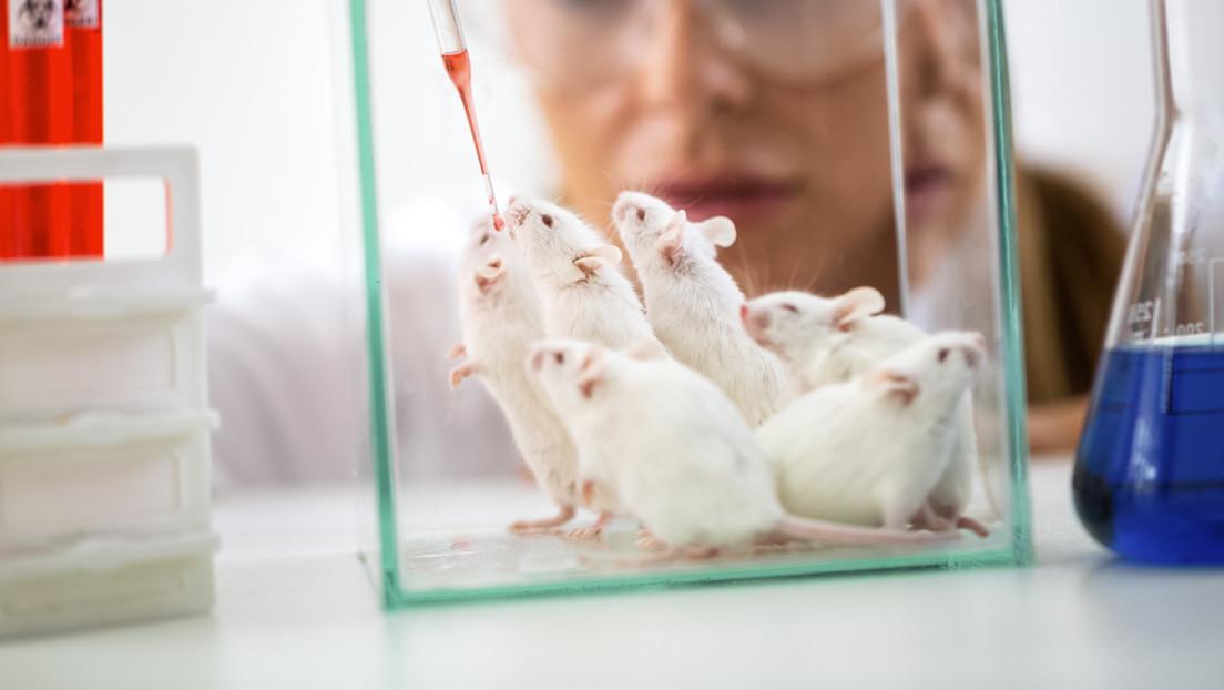 Calculan cuántos ratones y ratas usan anualmente los científicos en EE.UU.
