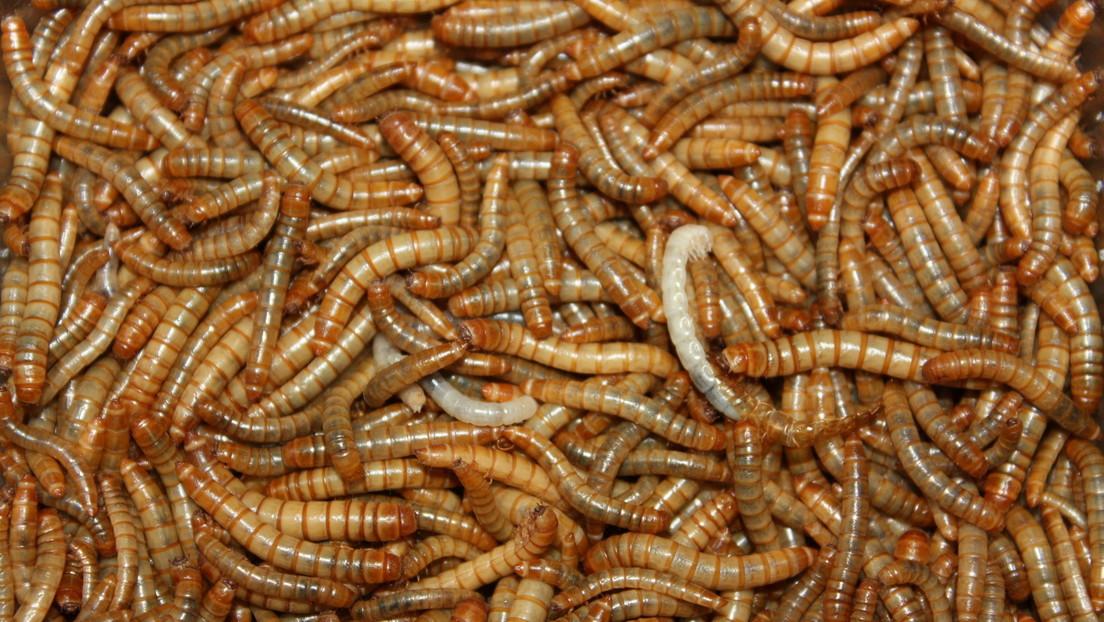 La UE reconoce oficialmente que el gusano de la harina es un alimento seguro