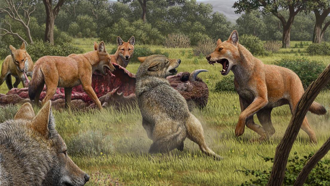 Descubren que los lobos prehistórico no son parientes cercanos de los lobos grises