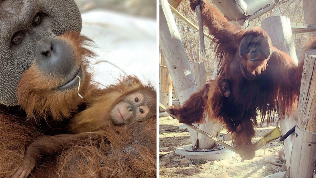 FOTOS: Un orangután sorprende al hacerse cargo de su hija tras la muerte de la madre, un comportamiento muy inusual entre estos primates