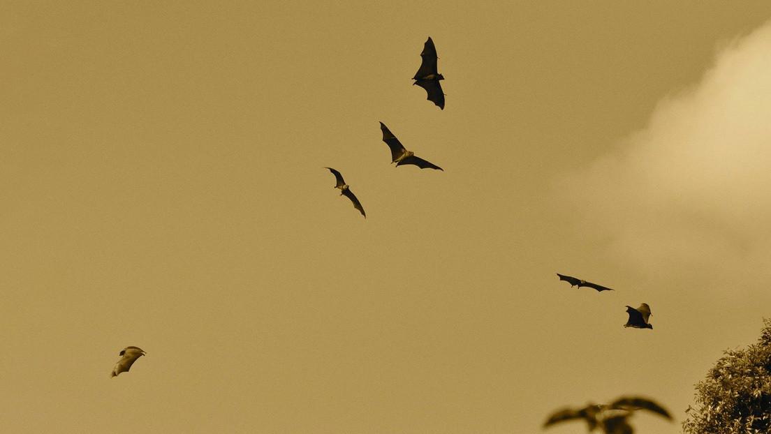 FOTOS: Descubren una nueve especie de murciélago con pelaje naranja en una cordillera africana