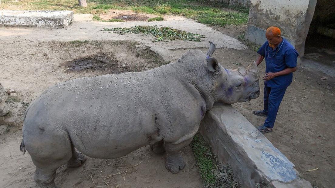 """Una rinoceronte de Bangladés """"necesita una pareja desesperadamente"""" pero el zoo no puede proporcionársela por la pandemia de covid-19"""