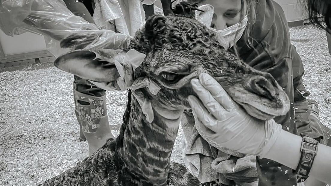 Una jirafa recién nacida en el zoo de Nashville muere tras ser pisada accidentalmente por su madre