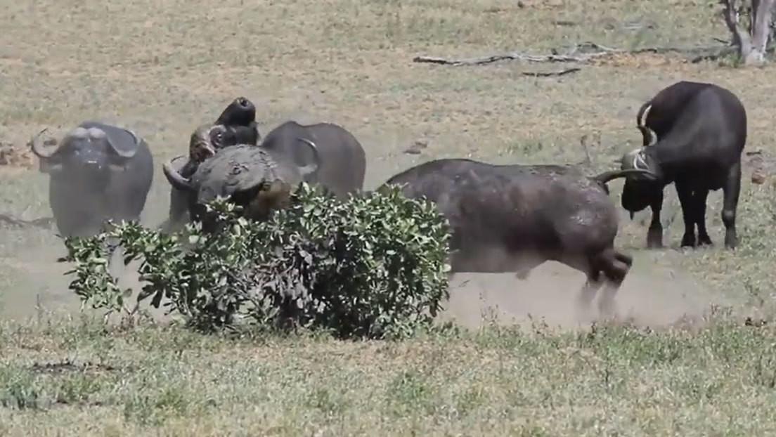 VIDEO: Cinco búfalos jóvenes se juntan para expulsar a un viejo macho de un territorio en disputa