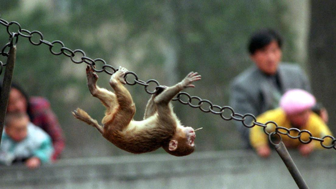 Los 'monos ladrones' de Bali saben qué artículo les resulta mejor robar para luego pedir recompensa por él