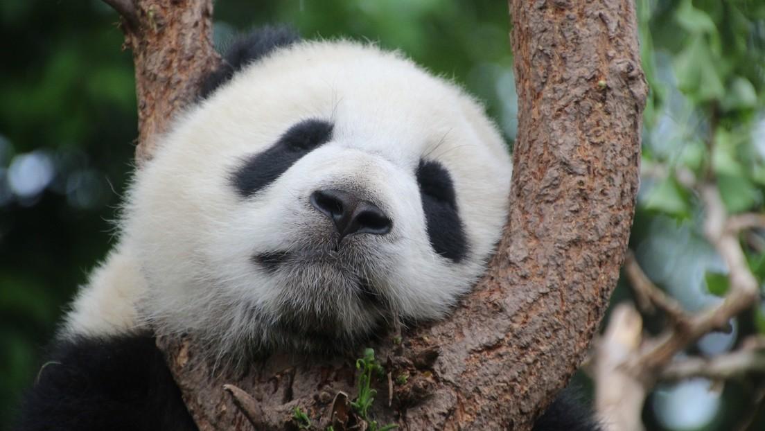 VIDEO: Captan imágenes de un insólito panda gigante albino en China