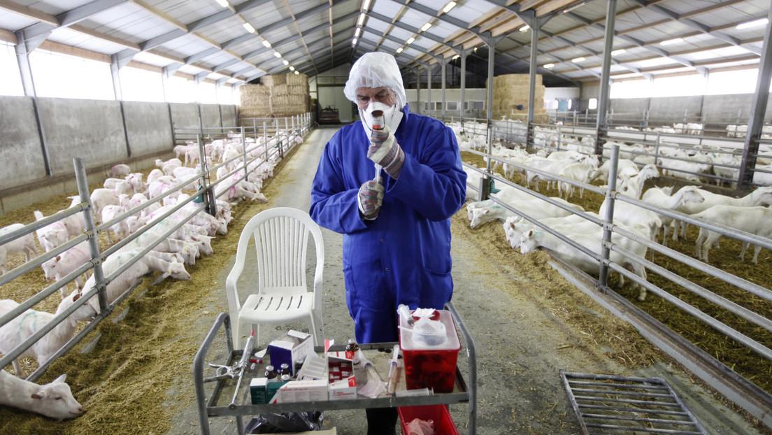 Países Bajos podría enfrentarse a una enfermedad desconocida transmitida por cabras