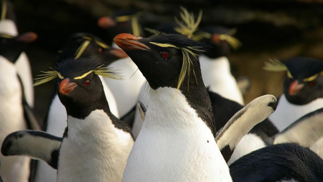 VIDEO: Dos grupos de pingüinos saltarines se detienen 'a charlar' y uno distraído se va con el grupo equivocado