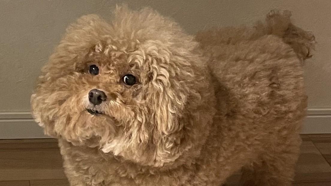 FOTO: Un perro triunfa en Twitter por su parecido con los personajes de 'Among Us'