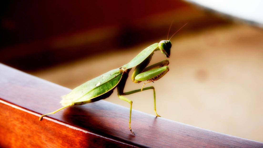 Descubren una rara 'táctica sexual' en mantis religiosas que permite a los machos no ser devorados en la cópula