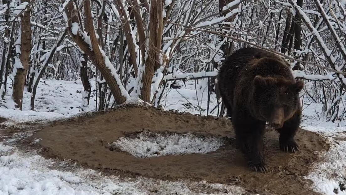 En libertad, pero con la mente aún atrapada: recuerden a esta osa cuando vayan al zoo (VIDEO)