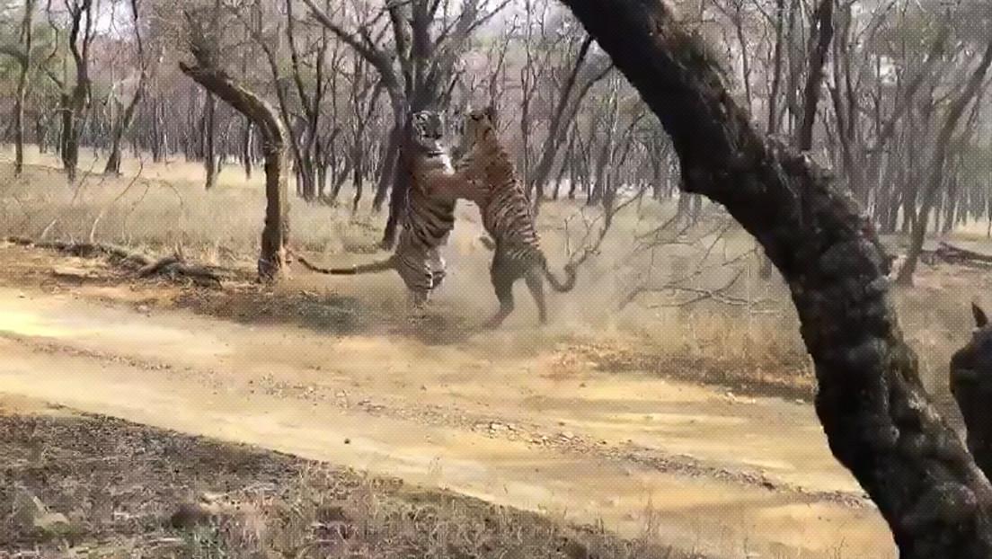 VIDEO: Captan el brutal enfrentamiento entre dos tigres en un parque nacional indio