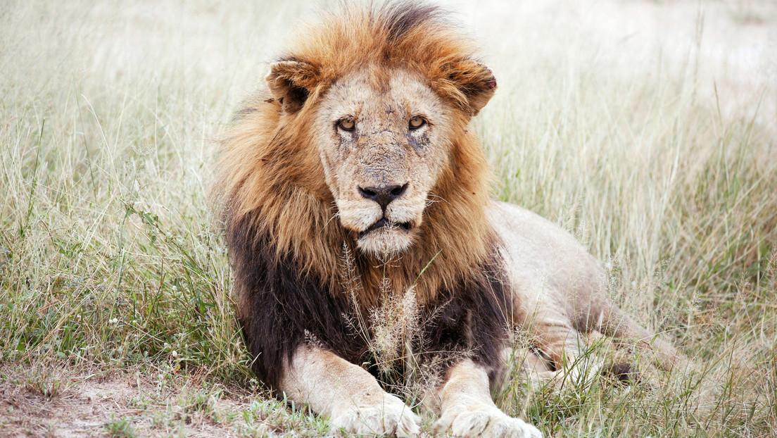 FOTOS: Captan el momento en que un león 'se une' a una cena de unos turistas en un parque natural de África