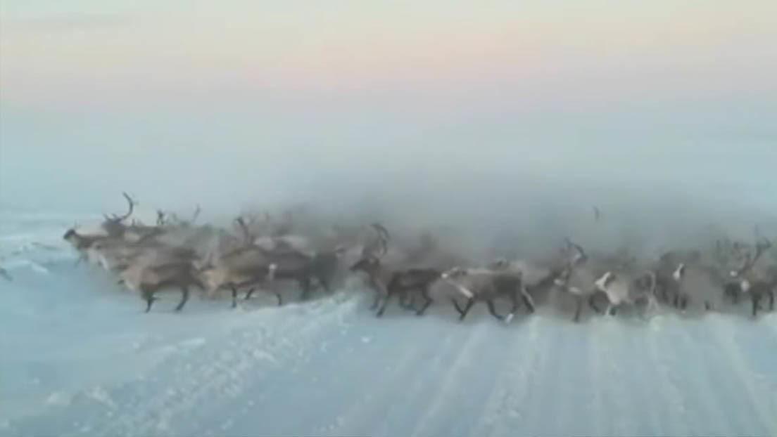 VIDEO: Una manada de renos sorprende a un conductor en el oeste de Siberia