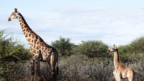 Científicos quedan atónitos al descubrir jirafas enanas (VIDEO)