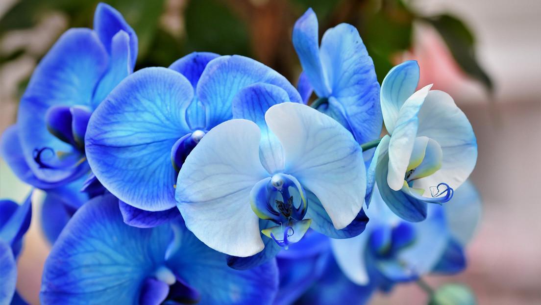 Resuelven el 'abominable' misterio que Darwin vio en la evolución de las plantas con flores