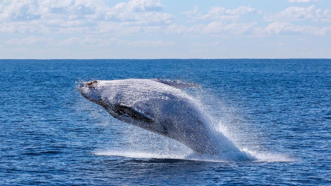 Identifican una nueva especie de ballena en el Golfo de México y advierten que está en peligro de extinción