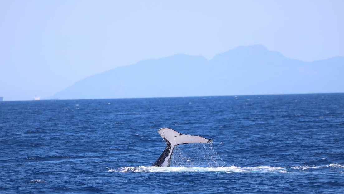 Datos satelitales revelan el peligro que enfrentan las ballenas azules al tratar de esquivar los barcos en la Patagonia