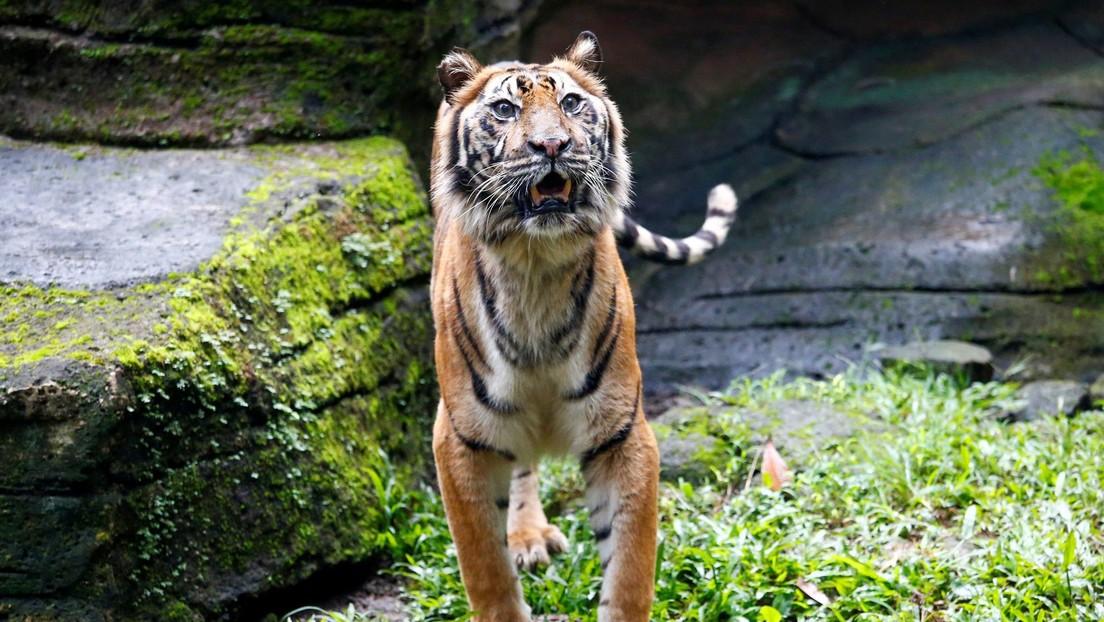 Un par de tigres escapan de un zoo y matan a un cuidador