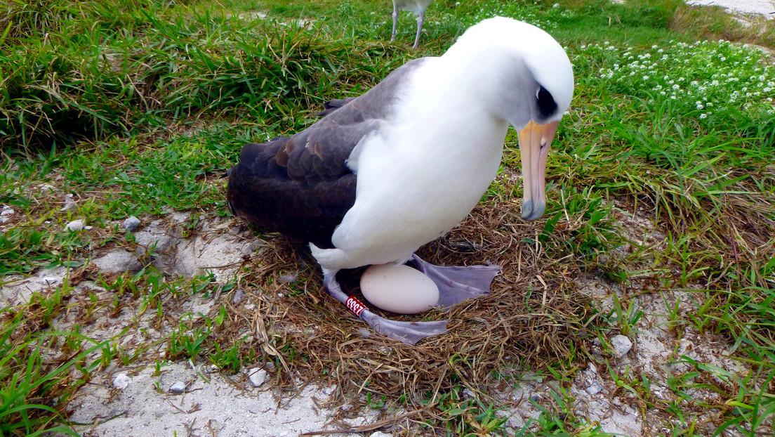 El ave marina más vieja del mundo vuelve a ser madre a los 70 años (FOTO)