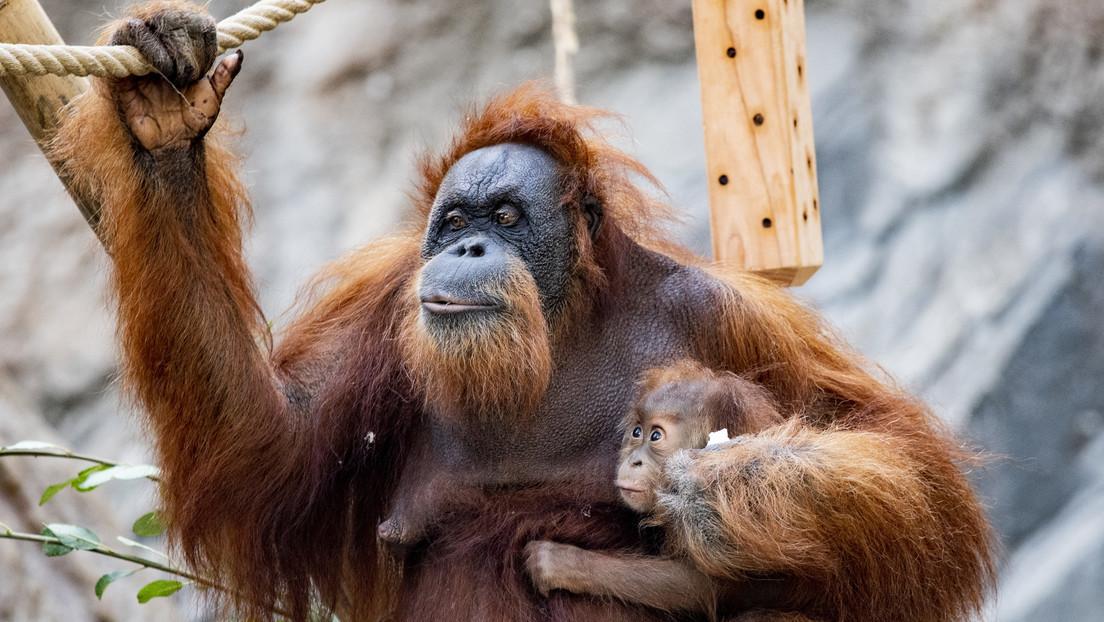 Orangutanes en cautiverio crean más formas de comunicarse que sus congéneres en libertad