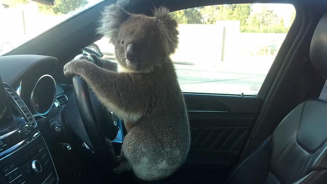 VIDEO: Un koala posa al volante tras causar un choque múltiple en una autopista australiana