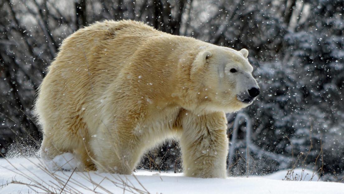 Una osa polar es matada por un oso macho que intentaba aparearse con ella en un zoo