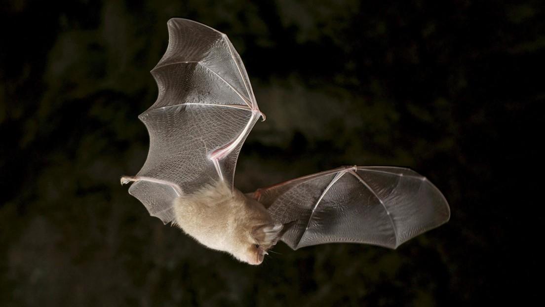 Descubren un coronavirus muy similar al SARS-CoV-2 en murciélagos en Tailandia, y sus anticuerpos pueden neutralizar el virus causante del covid-19