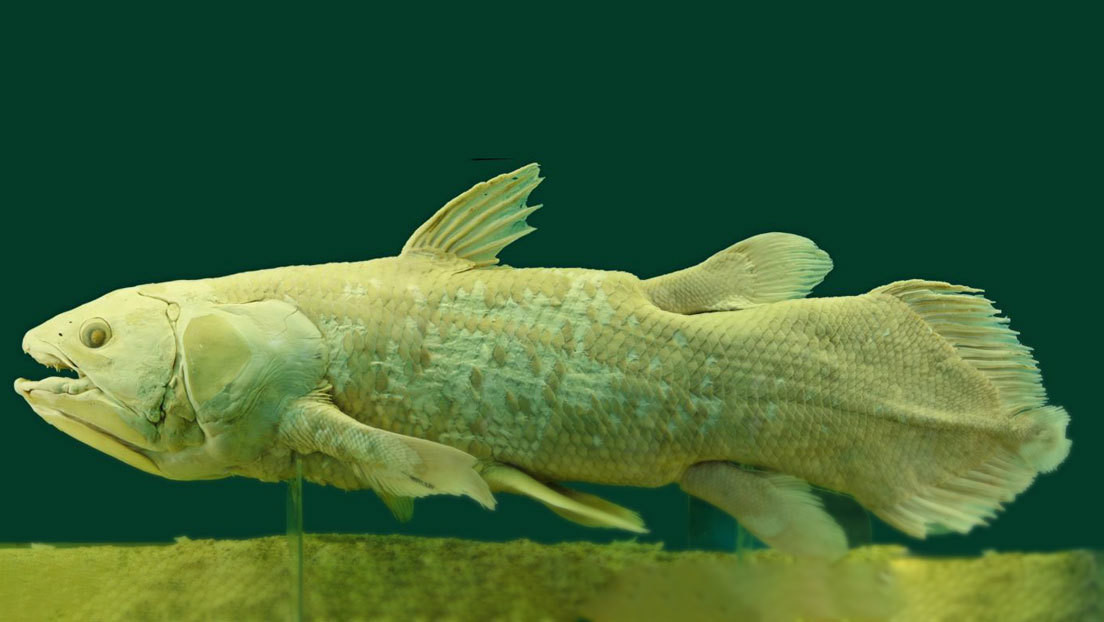 Descubren 62 nuevos genes en un pez considerado como 'fósil viviente' por sus más de 400 millones de años de antigüedad