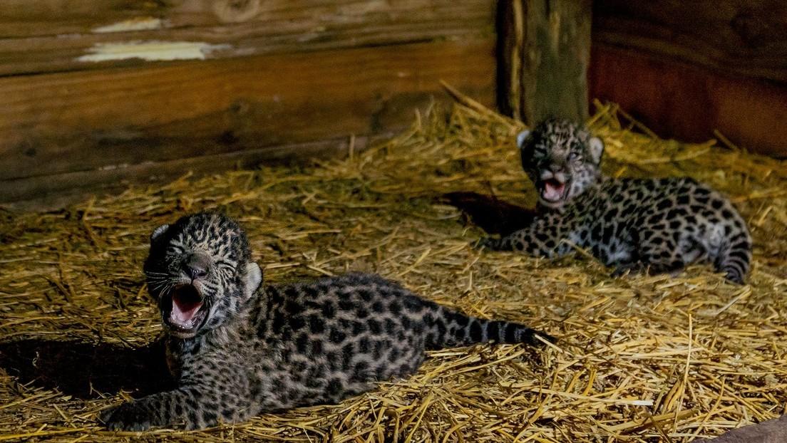 Nacen en la región chaqueña de Argentina dos jaguares de una especie en peligro de extinción (VIDEO)
