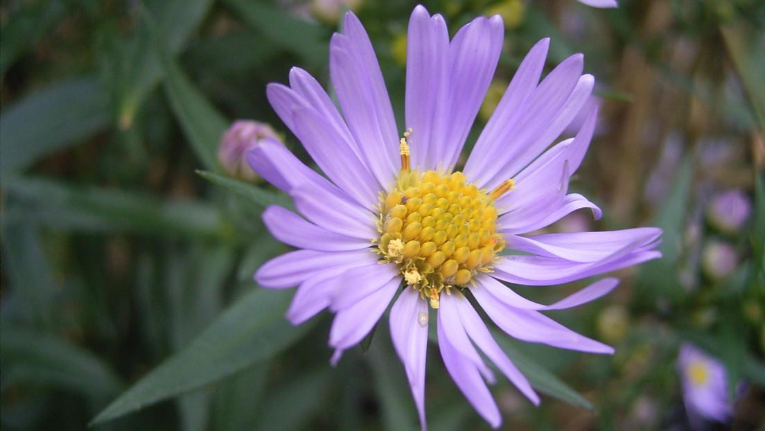 La imagen de una flor en Wikipedia empieza a recibir de repente 90 millones de visitas al día y la razón está en la India