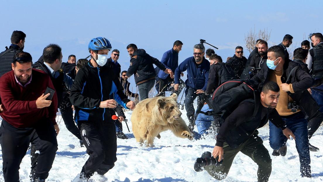 Liberan un grupo de osos pardos en su hábitat y lo primero que hacen es lanzarse contra la multitud (FOTOS, VIDEOS)