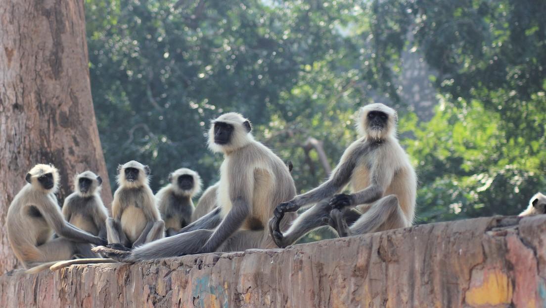 Encuentran muerta a una bebé de 8 días, después de que fuera robada por una manada de monos y dejada en una fosa en la India