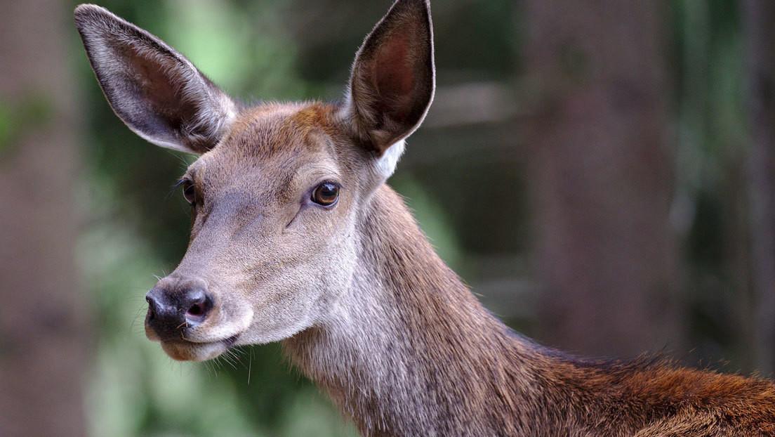 ¿Dónde se ha metido? Buscan respuesta a una enigmática fotografía de un ciervo que logra esconder todo su cuerpo tras un árbol