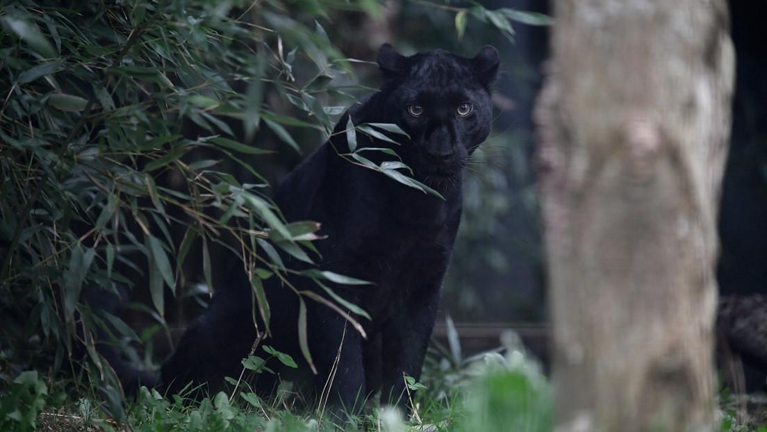 Autoridades del sur de Italia buscan a una pantera negra que se le habría escapado a un jefe de la mafia (FOTOS, VIDEO)