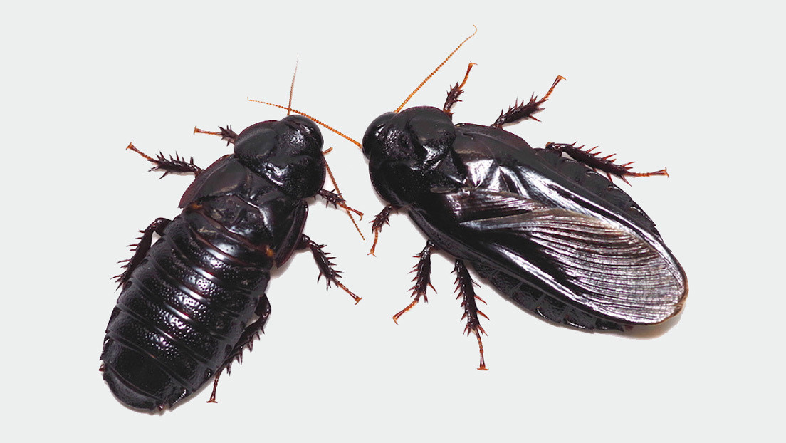 Canibalismo sexual mutuo: estas cucarachas se devoran tras aparearse para 'el bien de la colonia'