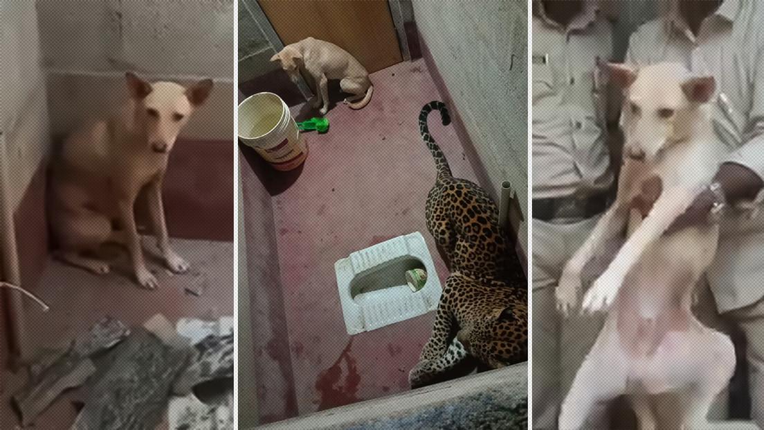 Encierran a un perro con un leopardo en un baño durante siete horas y el resultado sorprende a los rescatistas