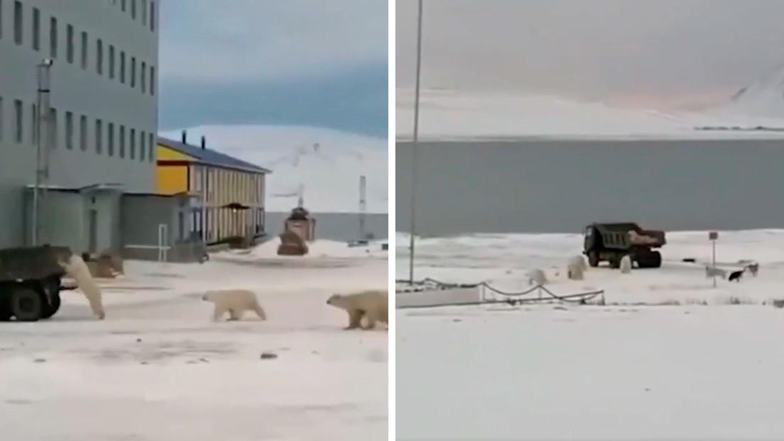 VIDEO: Osos polares asaltan un camión militar en busca de comida en la región más fría de Rusia