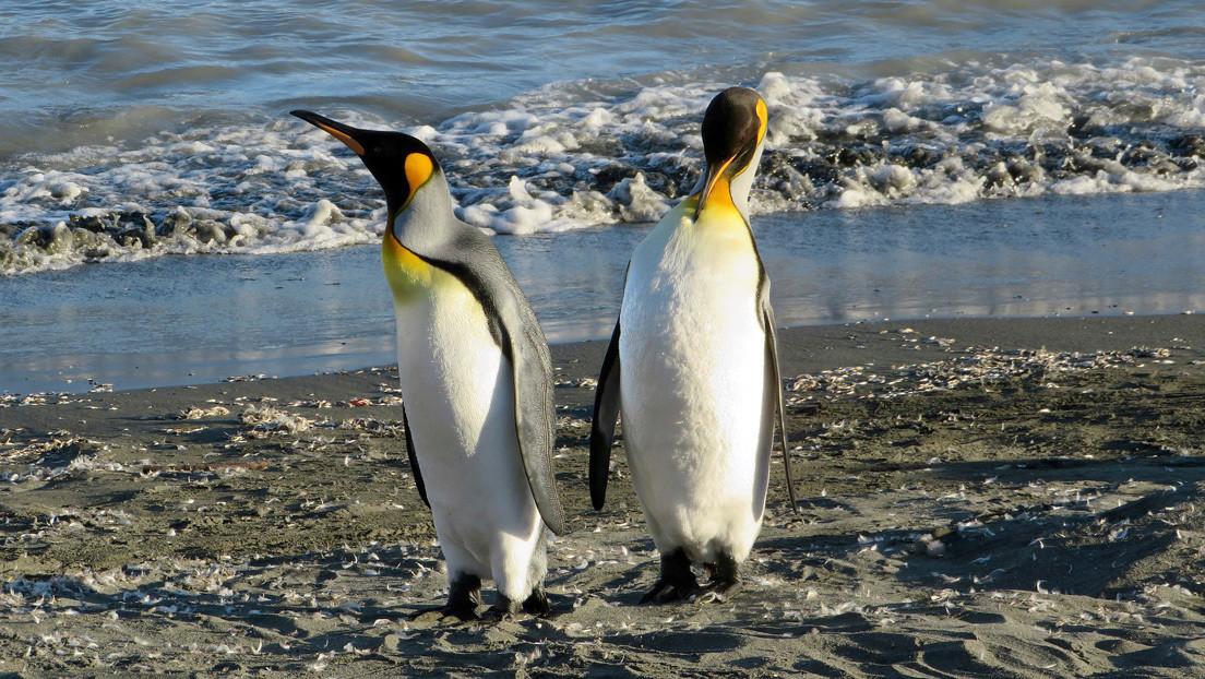 Fotógrafo capta imágenes de un raro pingüino completamente amarillo (FOTOS)