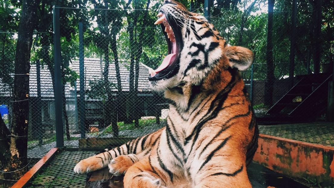 """VIDEO: El tigre de un zoo ruso 'canta' como un pajarito (y los empleados dicen que es """"un pequeño manipulador"""")"""