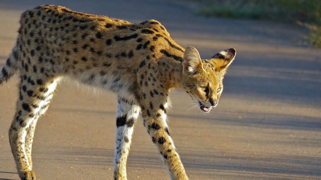 VIDEO: Un gato serval hace frente con éxito al animal terrestre más veloz del mundo