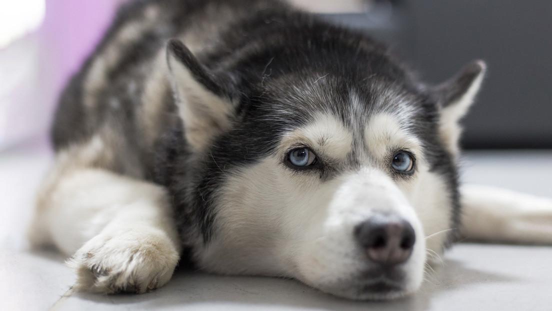 VIDEO: El dueño de una joyería simula un asalto para poner a prueba a su perro guardián (pero su reacción no es la que esperaba)