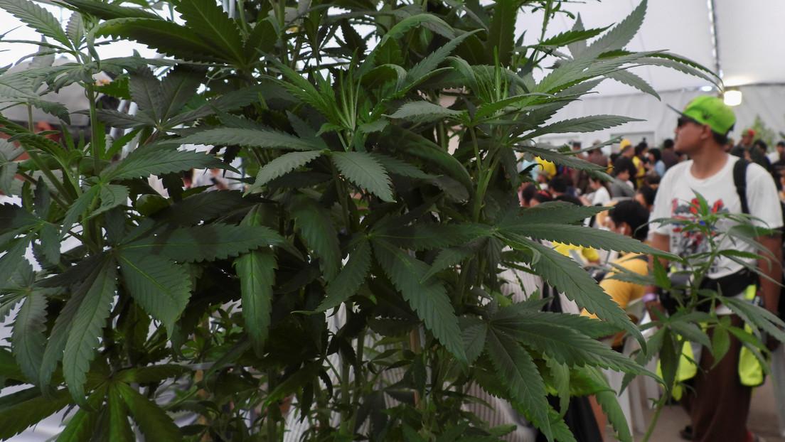Tailandia promueve el cannabis como principal cultivo comercial de los agricultores