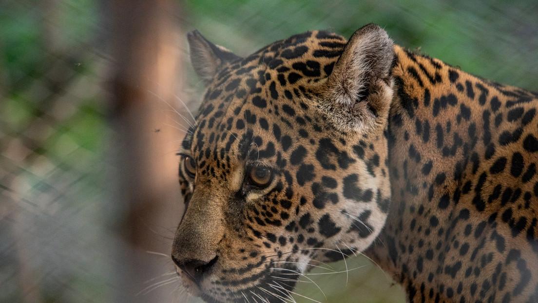 """Una jaguar hembra muere a manos de un macho por """"un terrible error"""" en un zoo de EE.UU."""