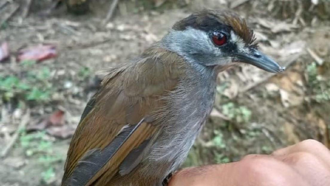 Redescubren en los bosques tropicales de Indonesia un ave que se creyó extinta por más de 170 años