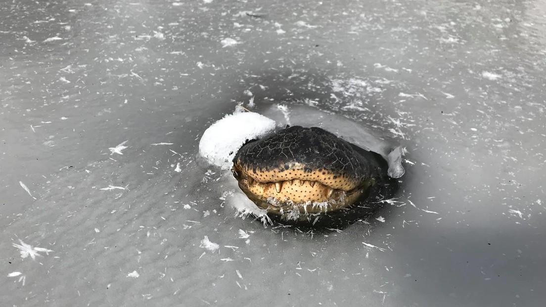 Así sobreviven los caimanes atrapados en los pantanos congelados de EE.UU.