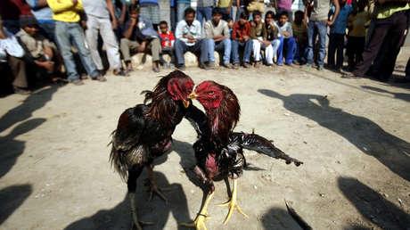 Un gallo mata a su dueño con una cuchilla durante una pelea ilegal